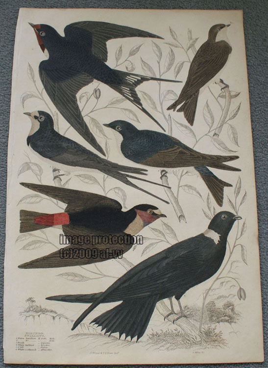 c1835 Coloured Engraving Hirundo Swallows Bicolor White Collared