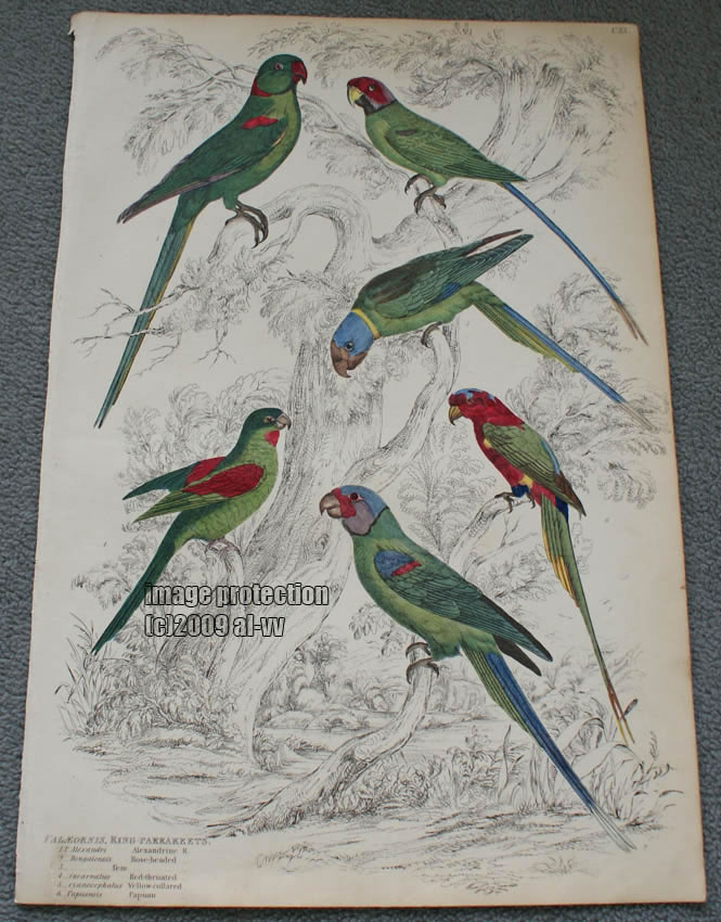 c1835 Colored Engraving Paleornis Ring Parakeets