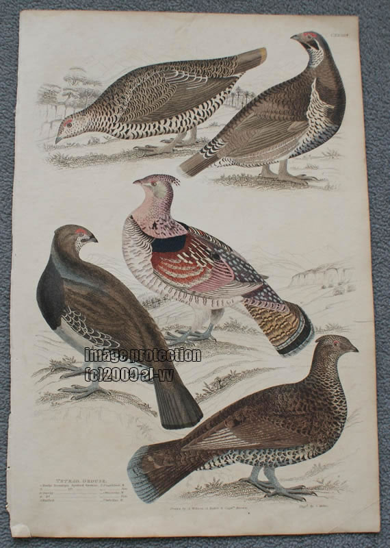 c1835 Colored Engraving Tetrao. Grouse Birds