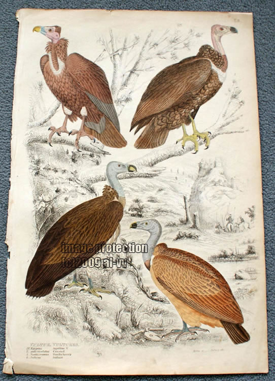 c1835 Coloured Engraving Vultures, Indian Crested Pondicherry Vulture
