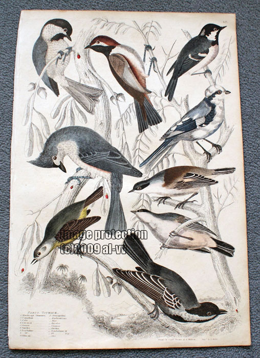 c1835 Coloured Engraving Parus Titmice Crested, Black Cap