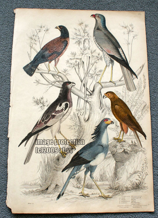 c1835 Coloured Engraving Circus Harriers Hen Harrier