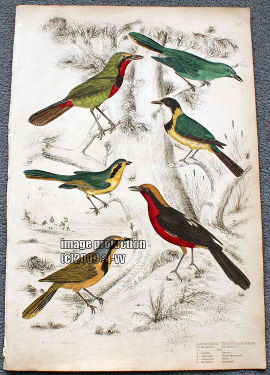 c1835 Colored Engraving Laniarius Thrush Shrikes