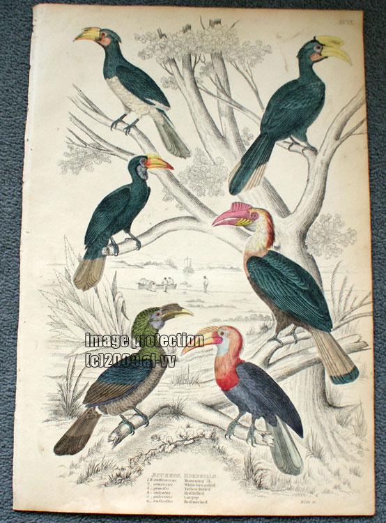 c1835 Colored Engraving Buceros Hornbills