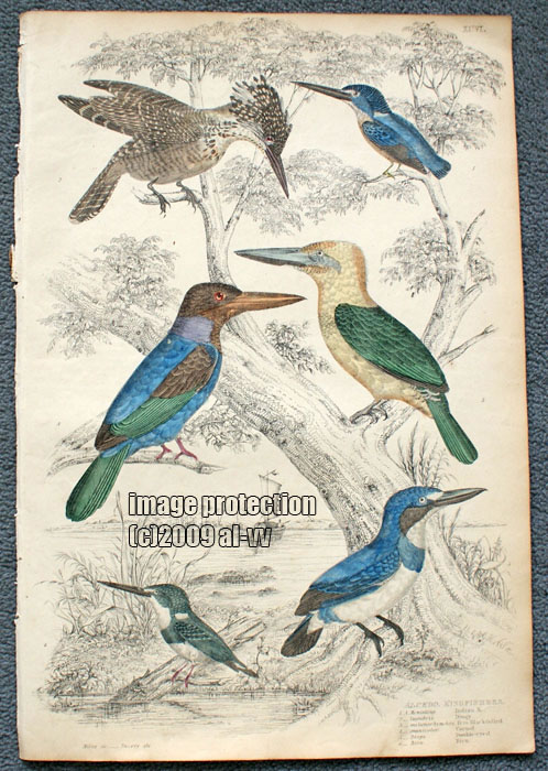 c1835 Coloured Engraving Alcedo Kingfishers Double eyed, Indian Kingfisher Bird Print
