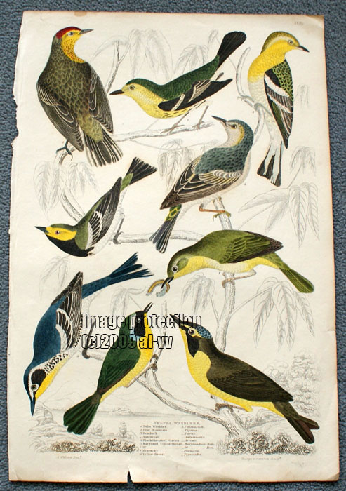 c1835 Coloured Engraving Sylvia Warblers Blue Mountain, Hemlock