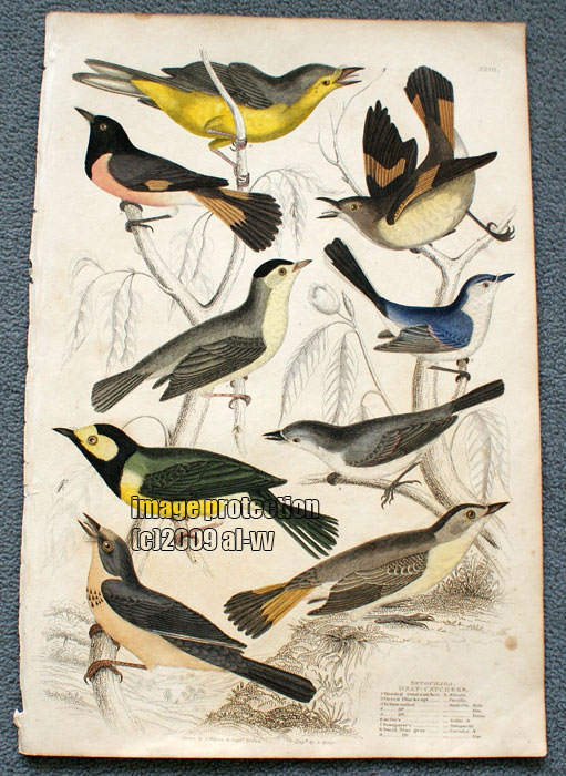 c1835 Colored Engraving Gnat Catchers Singing Birds