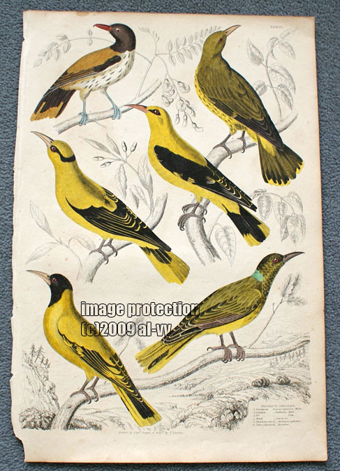 c1835 Colored Engraving Orioles Yellow Birds