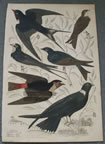 Hand colored ornithology print Swallows