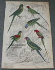 Antique Bird Print Parakeets