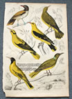 Antique Yellow Colored Orioles Bird Print