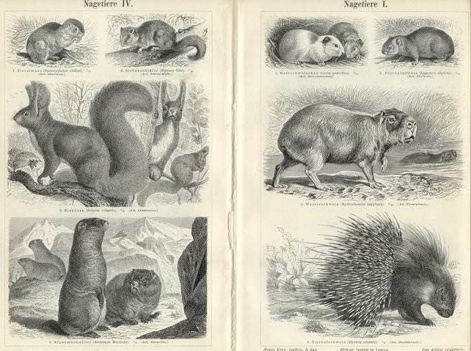 RODENTS, NAGETIERE,1894 Original Antique Wood Engraving