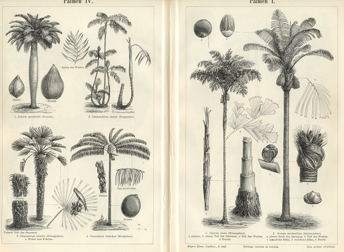 Botanical Print Palm Trees Fishtail Jaggery Toddy 1894 Original Antique Wood Engraving