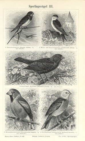 Kingbird, Rosy Starling,Great Grey Shrike,Barn Swallow,Yellowhammer,1894 Original Antique Wood Engraving