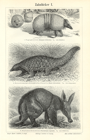ANTEATERS,Armadillos,Aardvark,Linnaeus's Two-toed Sloth,large shaggy-haired toothless anteater,1894 Original Antique Wood Engraving