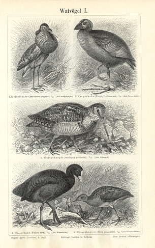 WADERS - SHOREBIRDS,Plains Wanderer,snipe, sandpipers, phalaropes,plovers and lapwings,1894 Original Antique Wood Engraving