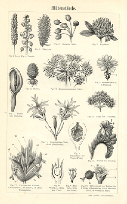 BLOSSOMS AND POLINATION OF VARIOUS PLANTS, 1894,Botanical Antique Print
