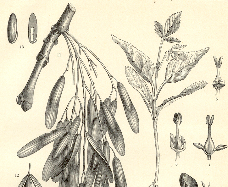 EUROPEAN ASH TREE,FRAXINUS EXCELSIOR,BUDS,CUTTINGS