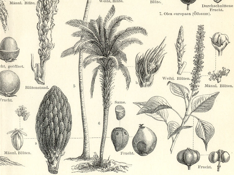 VEGETABLE OIL PRODUCING PLANTS,Coconut Palm Tree