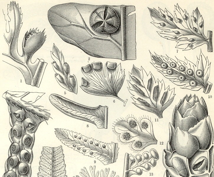 FERNS and Fern Structure,Antique Botanical Engraving
