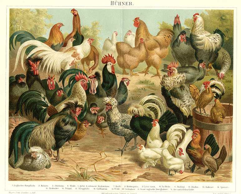 CHICKENS - POULTRY,HÜHNER,1894 Original Antique Chromolithograph